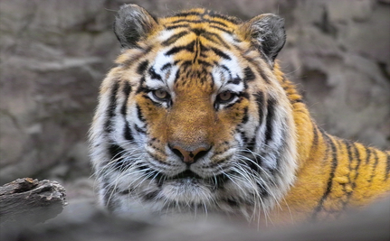 Keep Tigers Out Of Your Toilet