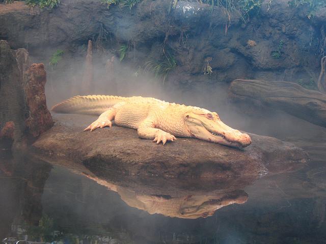 White Aligator