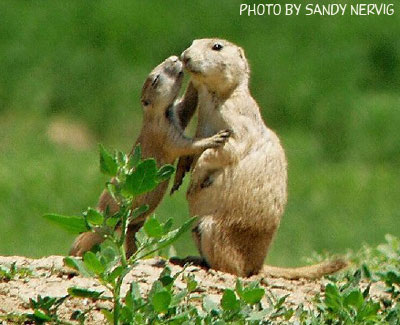 www.prairiedogcoalition.org pdogs-love.jpg
