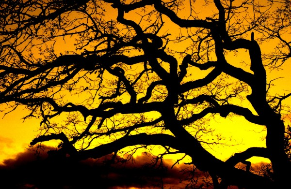 Gnarly Tree Sunset Silouette