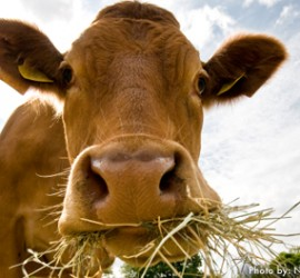 Grass-fed Beef: Is It Green, Humane, and Healthful?