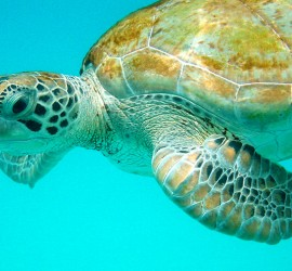 Sea Turtle Barba Tarikb