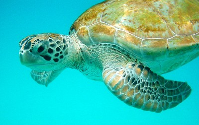 Sea Turtle Barba Tarikb