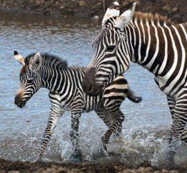 Zebra Baby Mom River Flickr By Mammal 640