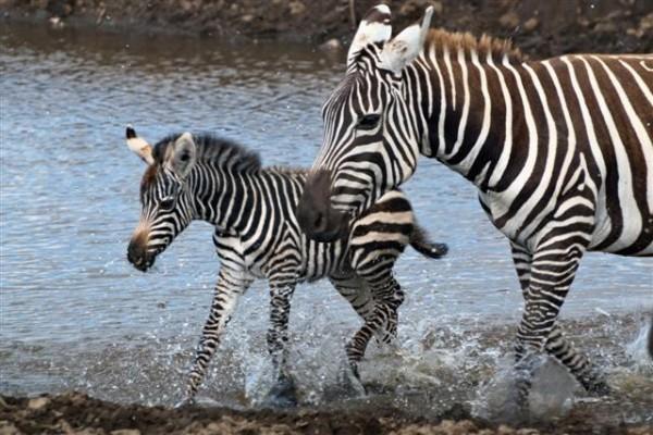 Zebra Baby Mom River Flickr By Mammal 640