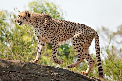 Cheetah_Feb09_02[1]