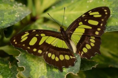 GreenButterflyLeaf
