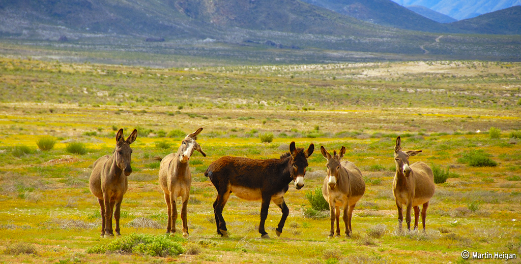Wild Donkeys of the Richtersveld 600 304